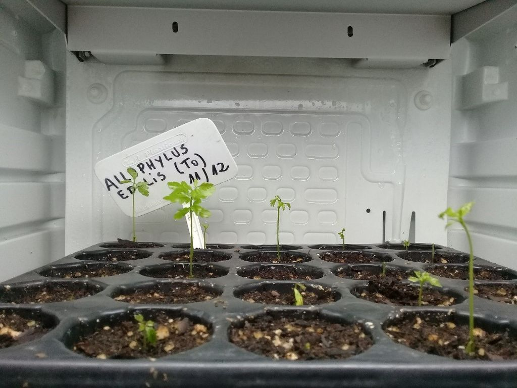 Propagation trials of Allophyllus edulis at Carlos Thays botanic garden