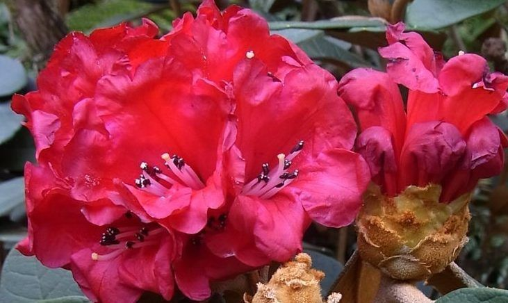 A Global Conservation Consortium For Rhododendron Botanic